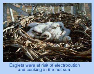 Eaglets in pylon nest