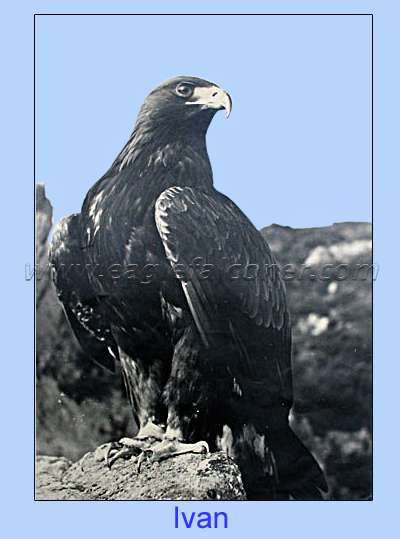 Trained Golden Eagle