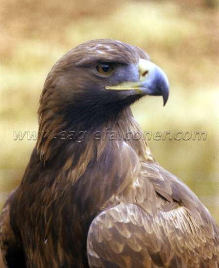 Golden Eagle Alan Gates