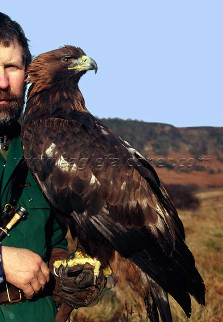 Falconry trained Golden Eagle