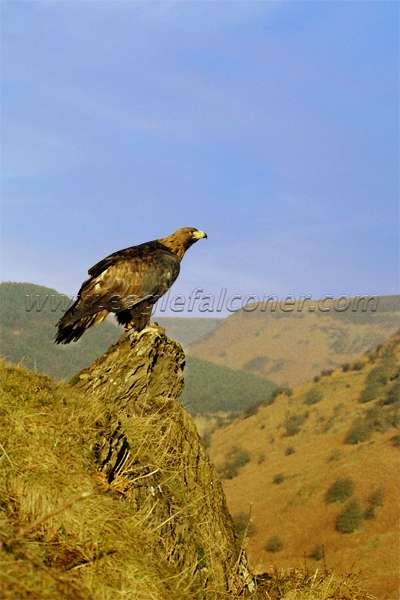 Golden Eagle in Yorkshire