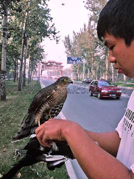 Magpie hawking in China
