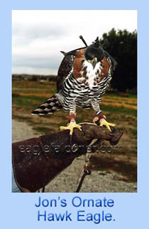 Ornate Hawk Eagle for falconry