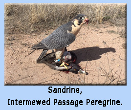 Passage trained Peregrine