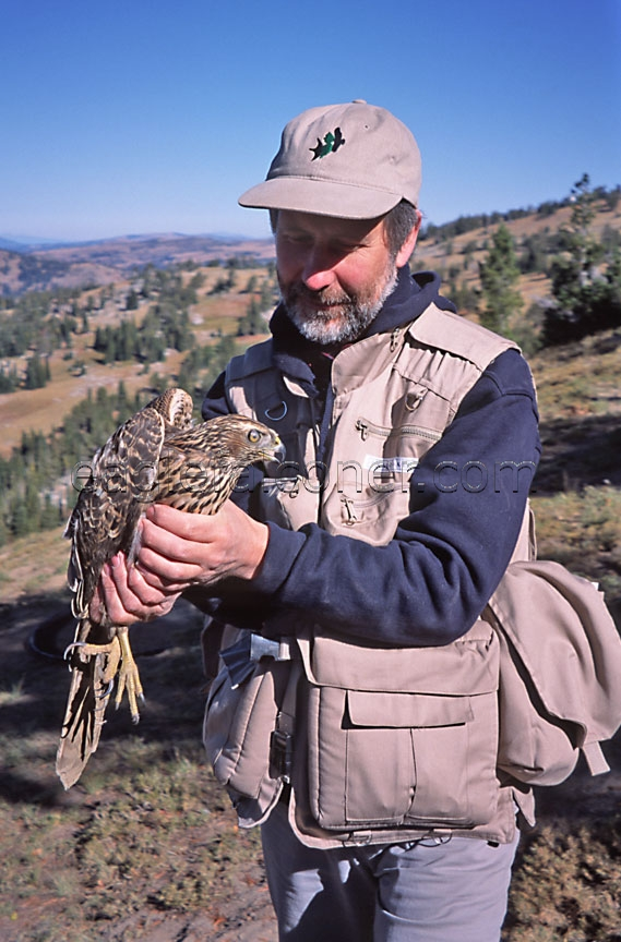 Alan Gates holds a trapped Goshawk