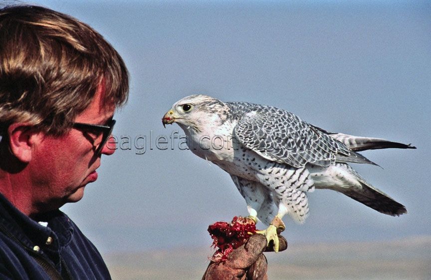 John Dahlke, American Falconer in Wyoming