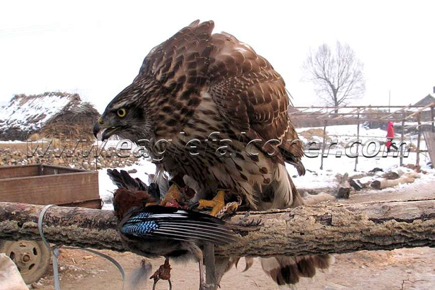 Northern Goshawk in China