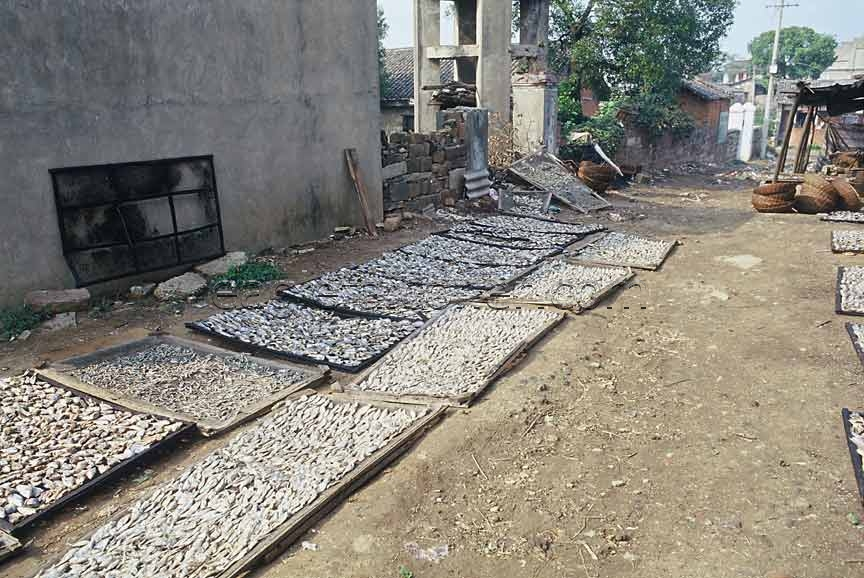 Drying Fish in China