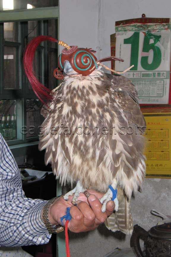 Chinese Saker falcon, hooded