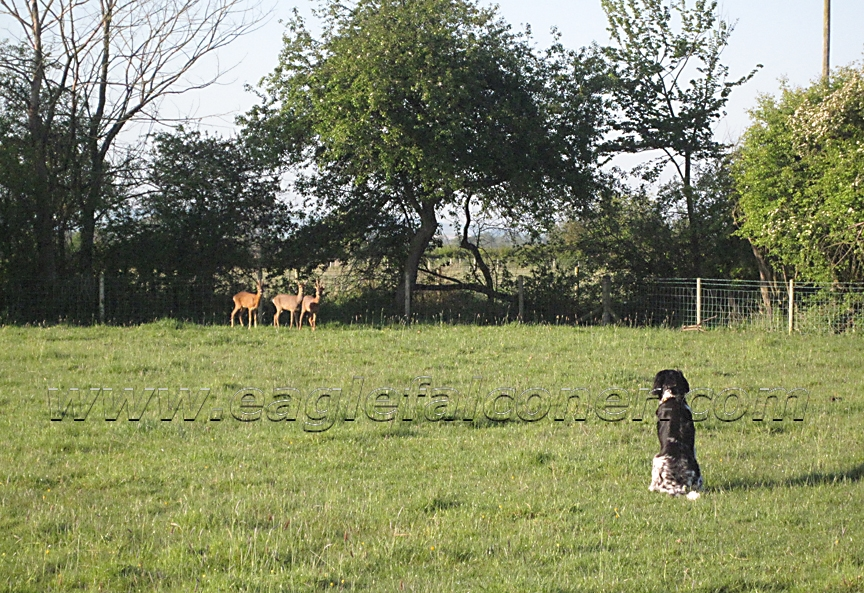 Roe deer and Large Munsterlander working dog