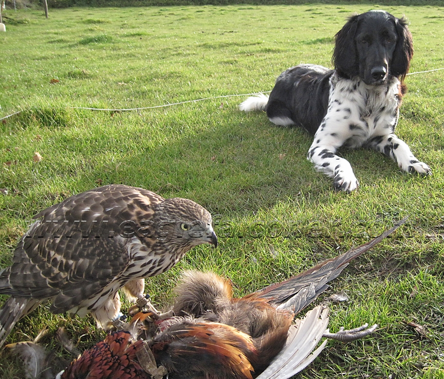 Goshawk and Large Munsterlander used for falconry