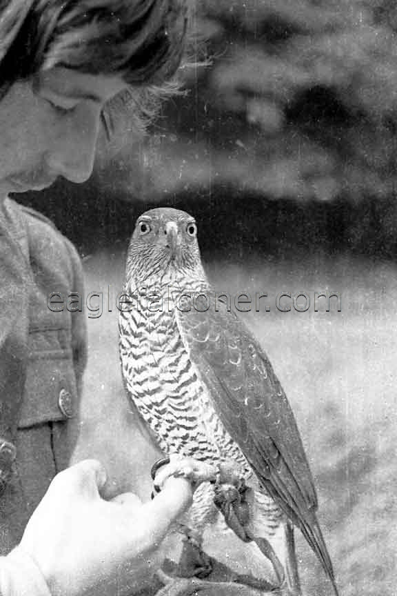 Adult German Goshawk
